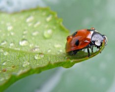 Rain drops on ladybug